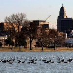 Oak Lake Skyline Geese and Gulls - Photo by Paul A. Johnsgard