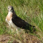 Swainson's Hawk in Dundy Co.