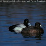 Lesser Scaup pair