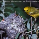 Yellow Warbler at nest