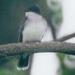 Eastern Kingbird, by Marty Tuttle