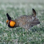 Greater Booming Prairie Chicken